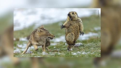 Ce cliché d'une marmotte surprise par une renarde est la meilleure photo animalière de l'année