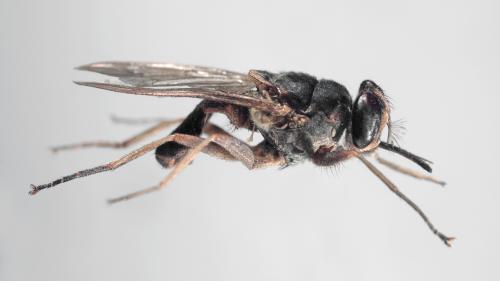 En Afrique, la maladie du sommeil transmise par la mouche tsé-tsé est en passe d'être éradiquée