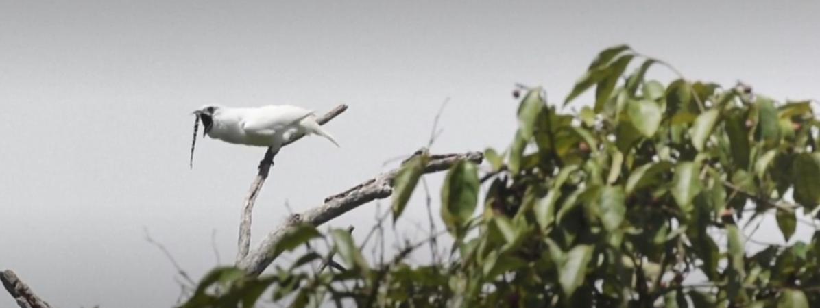 VIDEO. Voici l'oiseau le plus bruyant du monde (et son cri va vous déchirer les oreilles)
