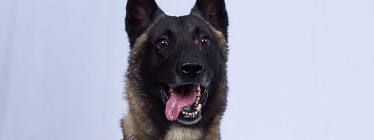 Mort d'Abou Bakr Al-Baghdadi : Trump publie la photo d'un chien militaire qui a joué un rôle déterminant da...