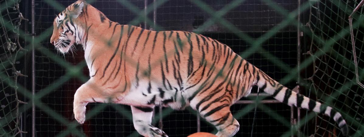Deux tiers des Français défavorables aux animaux sauvages dans les cirques, selon un sondage