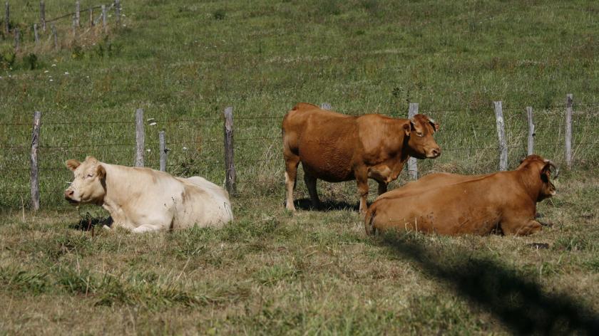 Des vaches couchées dans une prairie.
