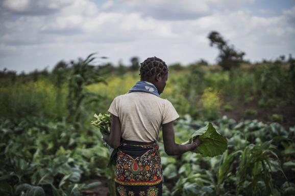 Une jeune femme récolte des légumes à Tica, près de Beira, à l\'est du Mozambique, le 21 août 2019.