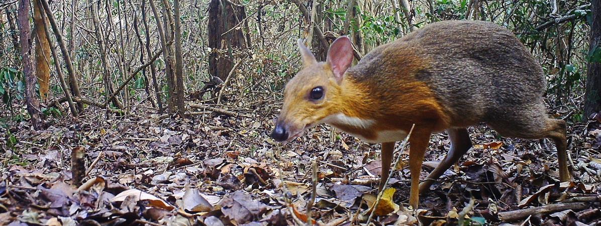 VIDEO. Vietnam : un cerf-souris sauvage observé pour la première fois depuis plus de vingt-cinq ans