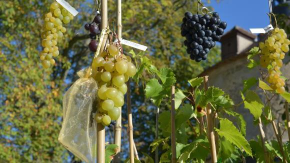 Jardin Des Vignes De Table Jamais Malades