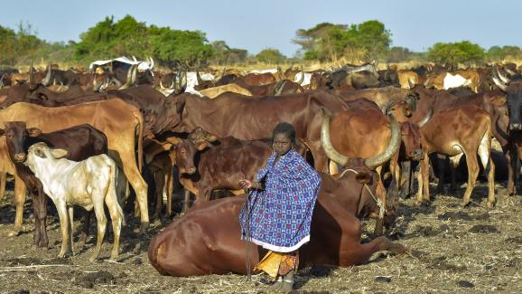 Une petite fille de la communeauté Falata garde son troupeau. A la saison sèche, les nomades remontent leurs troupeaux du Soudan vers le Soudan du Sud ou l\'Ethiopie, à la recherche de l\'eau.