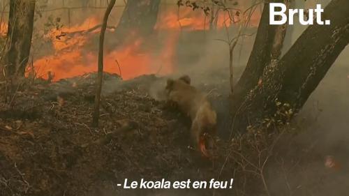 VIDEO. Incendies en Australie : en proie aux flammes, un koala est sauvé par une habitante