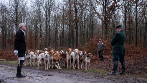 Femme enceinte tuée dans l'Aisne : les chiens utilisés lors des chasses à courre peuvent-ils être dangereux?