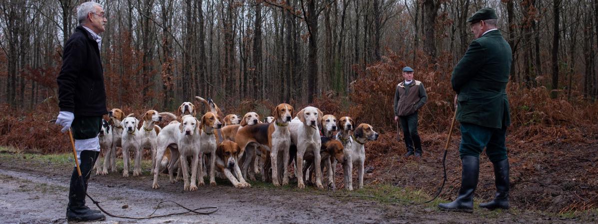 Femme enceinte tuée dans l'Aisne : les chiens utilisés lors des chasses à courre peuvent-ils être dangereux ?