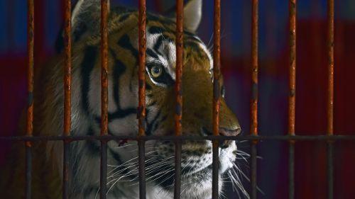 Méricourt : un homme blessé par un tigre au cirque Zavatta