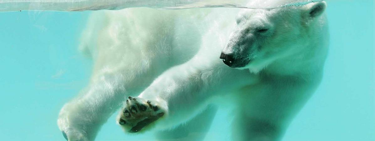 """""""On a tronçonné Olaf"""" : comment le zoo d'Amnéville a tenté de faire disparaître le cadavre d'un ours polaire"""