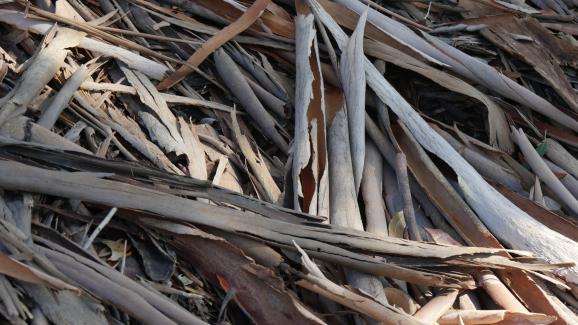 Jardin. Comment choisir et planter un eucalyptus
