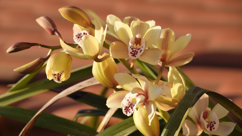 Comment S Occuper D Un Orchidée jardin. le cymbidium, une orchidée pour les fêtes