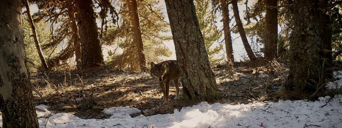 """""""Marche avec les loups"""" : un documentaire en forme d'ode à la nature"""