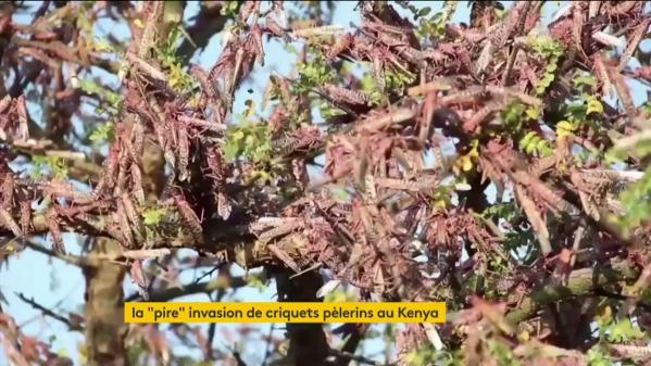 Les cultures du Kenya ravagées par une invasion de criquets