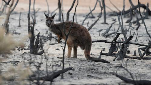 Les feux en Australie ont brûlé les habitats de plus de 300 espèces menacées