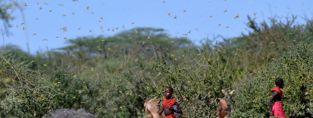 Afrique : le criquet pèlerin dévaste les cultures