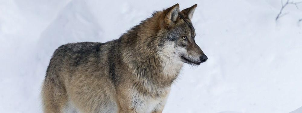 Un premier loup abattu cette année sous autorisation des pouvoirs publics dans les Alpes-de-Haute-Provence