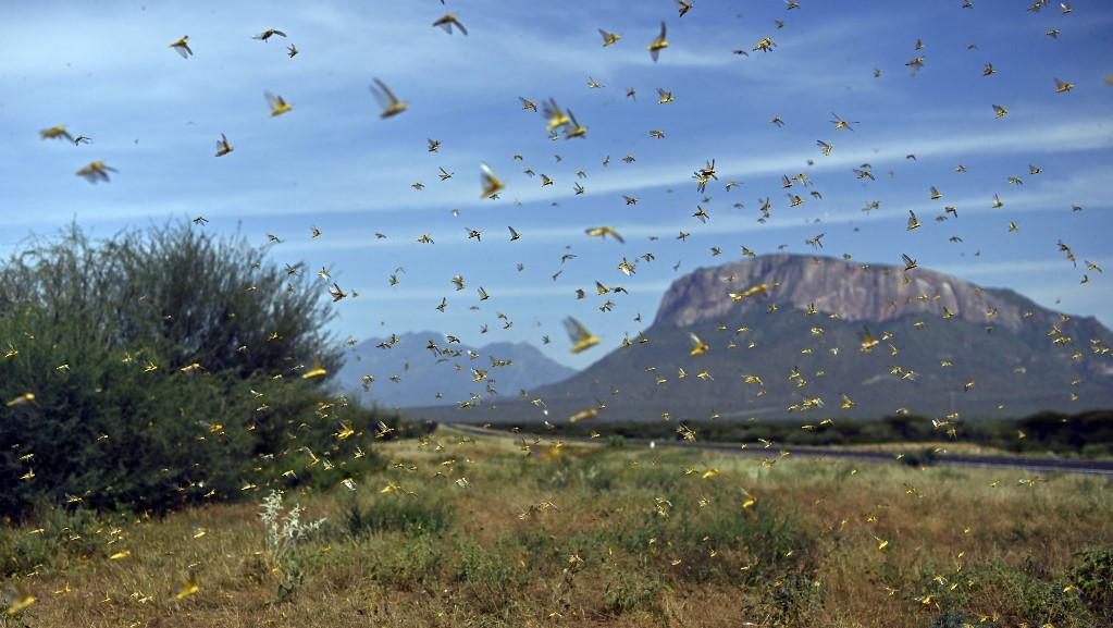 Criquets : un essaim géant ravage les cultures en Afrique