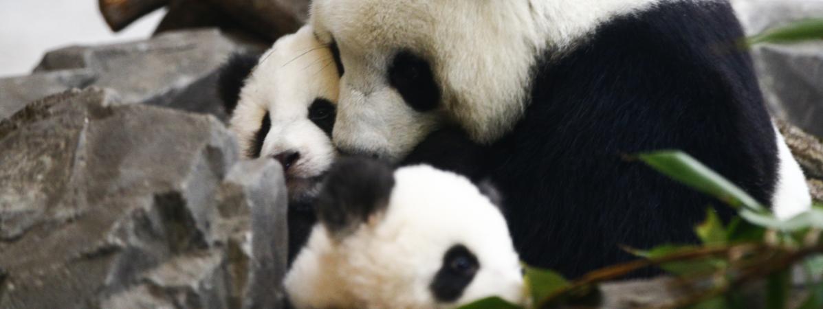 Des bébés pandas nés au zoo de Berlin sont présentés au public