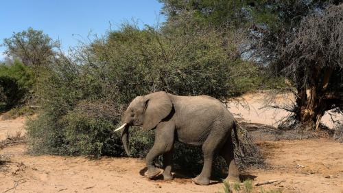 Sénégal : un éléphant observé en liberté pour la première fois depuis des années