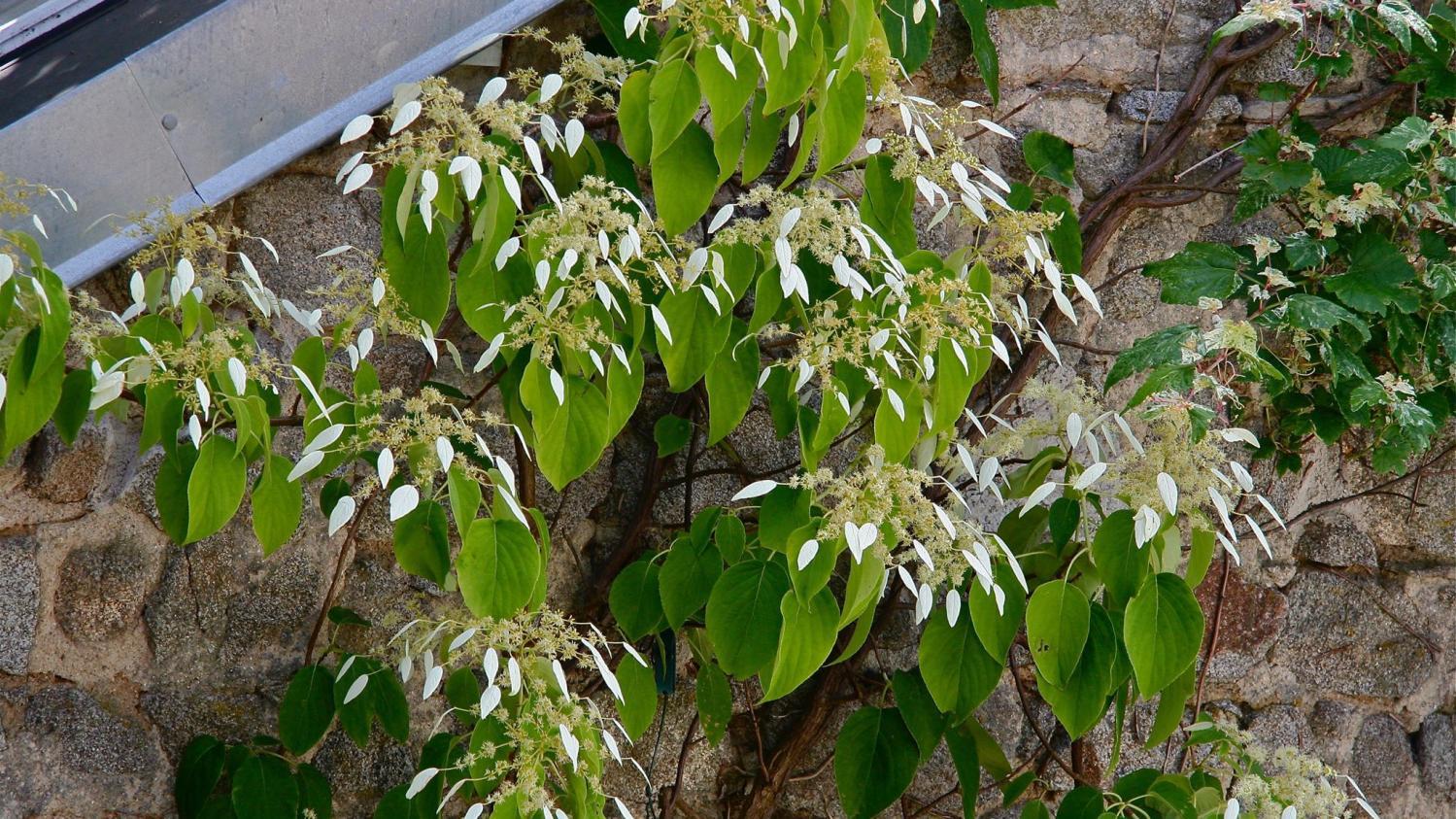 Bac Pour Arbuste De Jardin jardin. les hortensias grimpants, des arbustes pour l'ombre