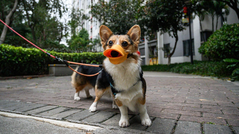 Les chiens peuvent-ils contracter le nouveau coronavirus 2019-nCoV?