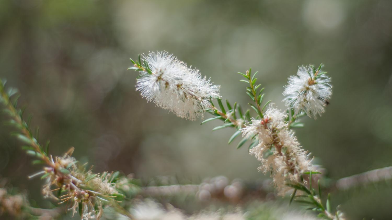 Arbuste Pour Terrain Calcaire jardin. comment cultiver l'arbre à thé, au jardin ou en pot