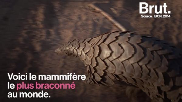 VIDEO. Le pangolin, le mammifère le plus braconné au monde