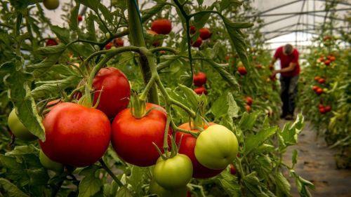 Un virus dévastateur pour les tomates détecté dans le Finistère