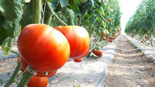 """""""Pour un producteur, c'est une mise en péril de l'activité économique"""" : la confirmation du virus de la tomate sur le sol français inquiète"""