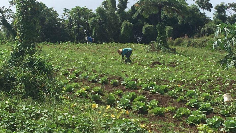 Le journal des Outre-mers. En Martinique, le combat des agriculteurs pour une culture 100% biologique