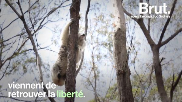 VIDEO. En Australie, les koalas sauvés des récents incendies retrouvent la liberté