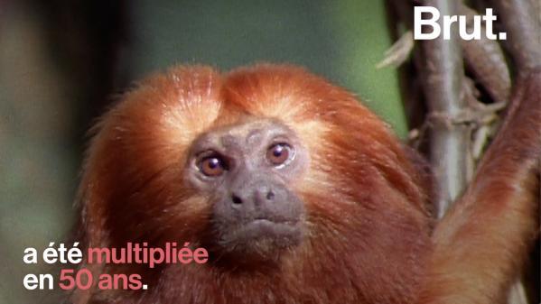 VIDEO. Le tamarin-lion doré, de la quasi extinction à la renaissance de l'espèce