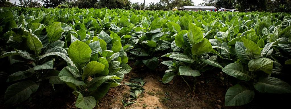 Des plants de tabac à Reparto Conchita (Cuba), le 18 janvier 2020.