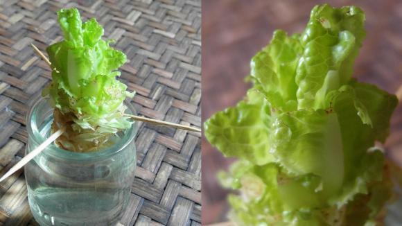 Jardin. Comment faire repousser des légumes dans de l'eau