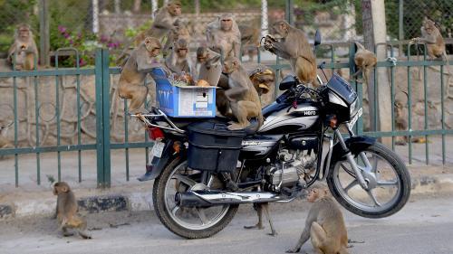 Vue dégagée sur l'Himalaya, animaux en liberté : dans une Inde confinée, la nature reprend ses droits