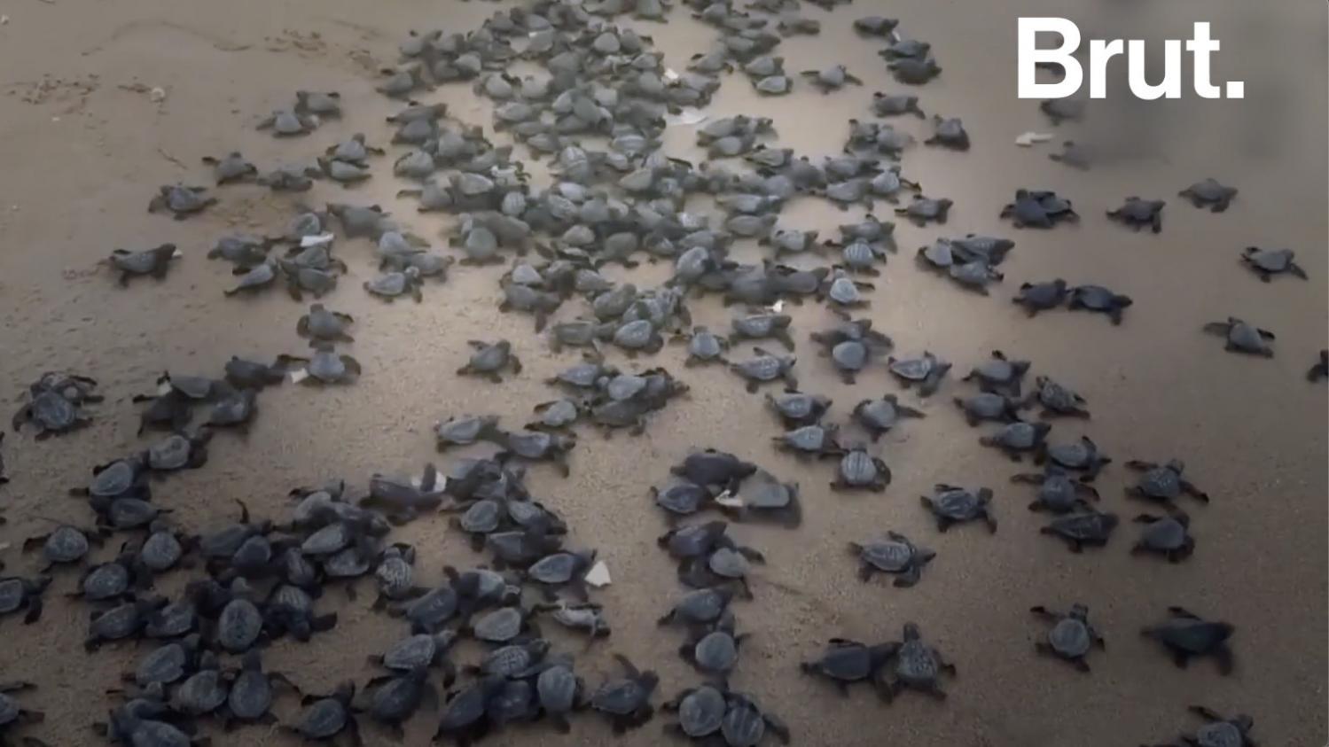 VIDEO. En Inde, l'heure du déconfinement a sonné pour des milliers de bébés tortues