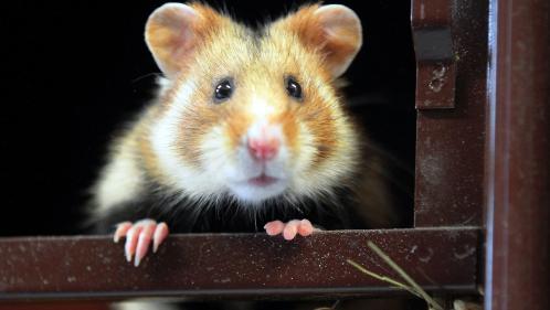 Le grand hamster d'Alsace est désormais