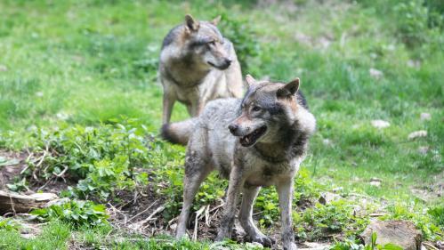 Loup abattu dans les Hautes-Alpes: ce que dit la loi sur les tirs visant à protéger les troupeaux des éleveurs