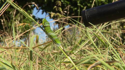 """Image de couverture - Une petite chenille dévoile """"Les mondes invisibles"""" des insectes dans un documentaire en tournage dans l'Aveyron"""
