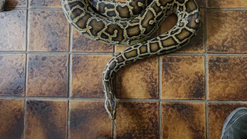 Pau : en rentrant de soirée, une femme de 22 ans découvre un python dans son hall d'immeuble
