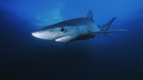 Requins et baleines aperçus le long des côtes françaises : sont-ils plus nombreux à la suite du confinement?
