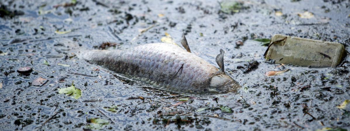 Un poisson mort dans l\'Escaut, près de Valenciennes, le 1er mai 2020 (photo d\'illustration).