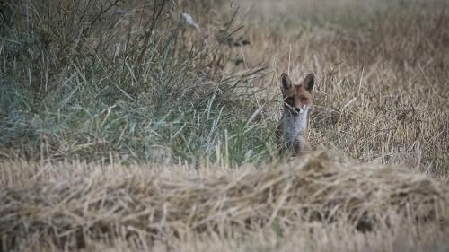 Eure : un arrêté autorisant l'abattage de renards annulé par le tribunal administratif
