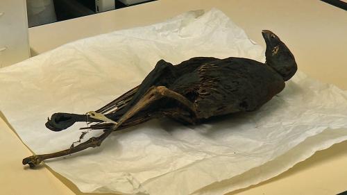 Image de couverture - À Lyon, des chercheurs font parler des oiseaux momifiés de l'Égypte antique