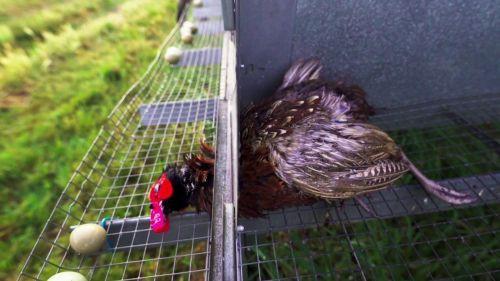 L214 et un naturaliste ont mené une enquête dans un élevage d'oiseaux situé à Missé dans les Deux-Sèvres. En diffusant ce jeudi des images de cadavres, ils dénoncent les conditions d'élevage de ces animaux destinés à être tués par les chasseurs.