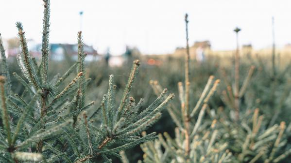 États-Unis : des sapins de Noël pour créer des dunes
