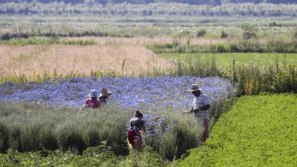 En Albanie, l'exportation de plantes médicinales bat des records grâce notamment au Covid-19