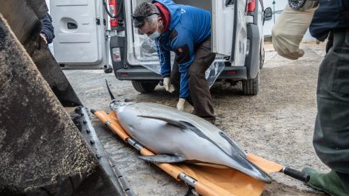 franceinfo junior. Pourquoi des dauphins s'échouent-ils sur les côtes françaises ?